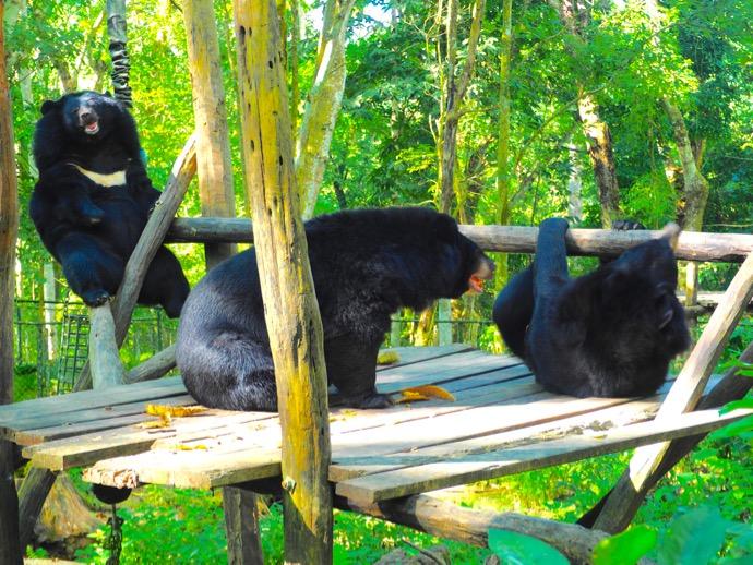 黒いツキノワグマ3匹
