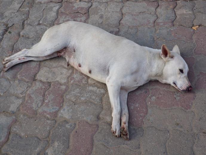 道端で眠る犬