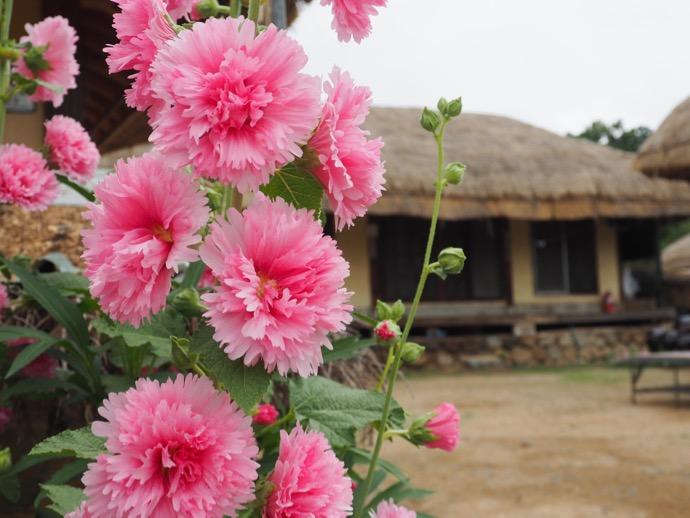 慶州で策ピンク色の花