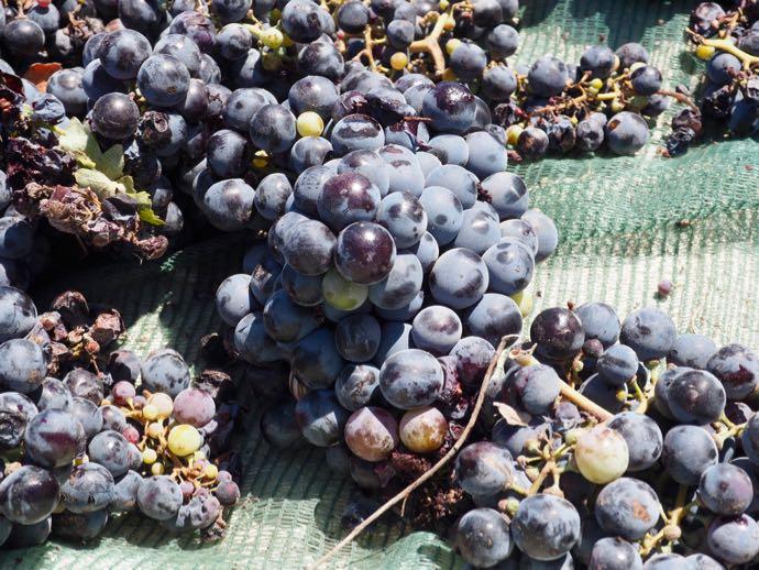 天日干しされるブドウ