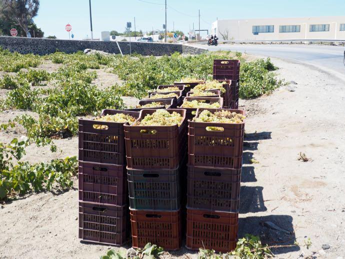 収穫されたブドウ