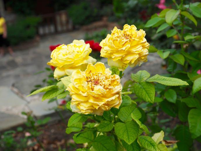 メテオラ アギオス・ステファノス修道院に黄色いお花が咲いていた