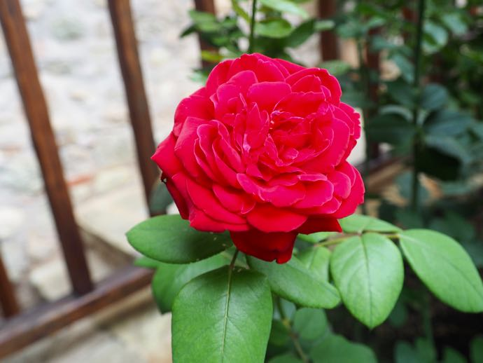 メテオラ アギオス・ステファノス修道院に赤いお花が咲いていた