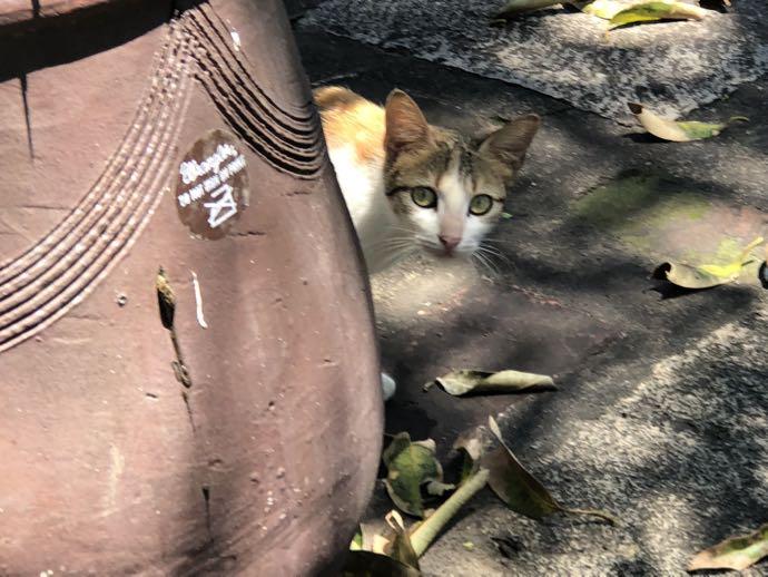 フィリピンの猫