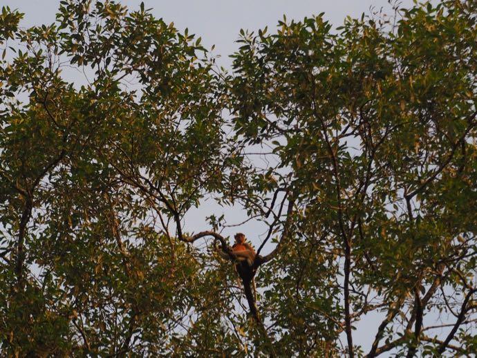 木の上に登るテングサル