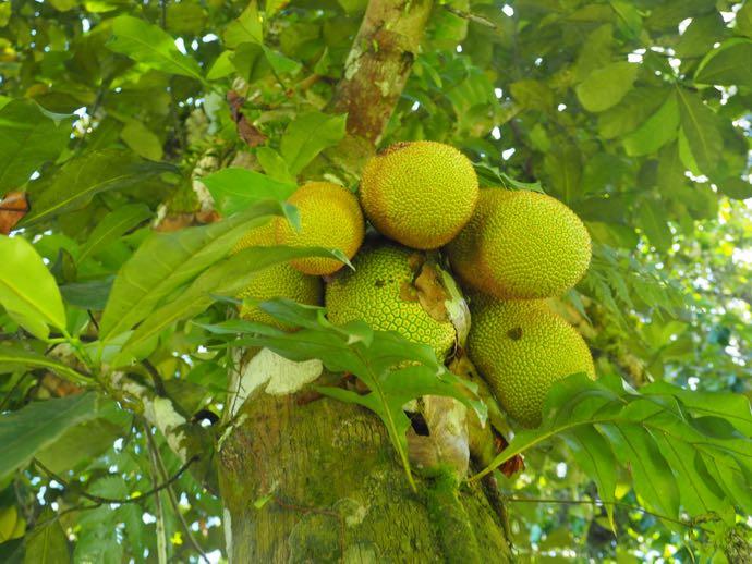 木に生るジャックフルーツの実