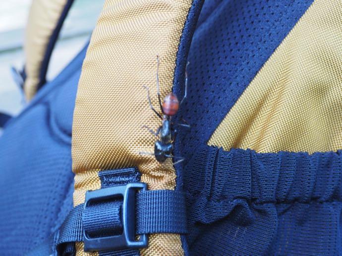 ジャイアント蟻
