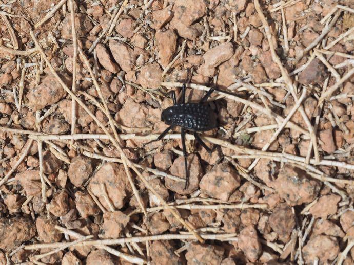 砂漠の変な虫