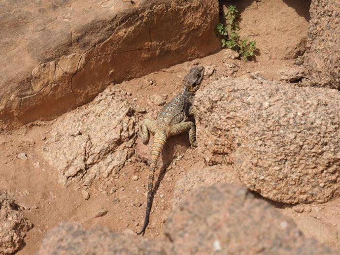 砂漠のトカゲ