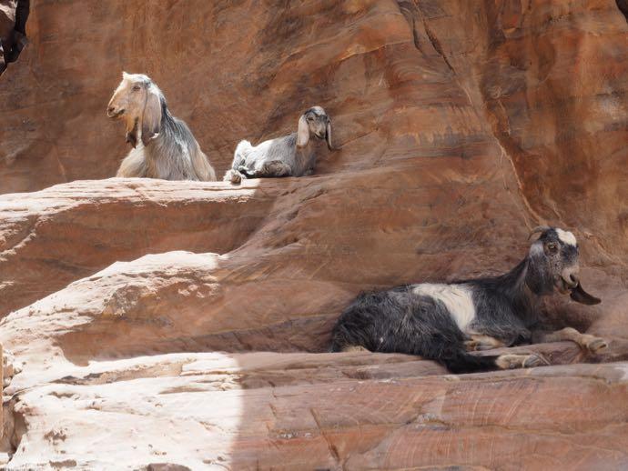 座るヤギの家族