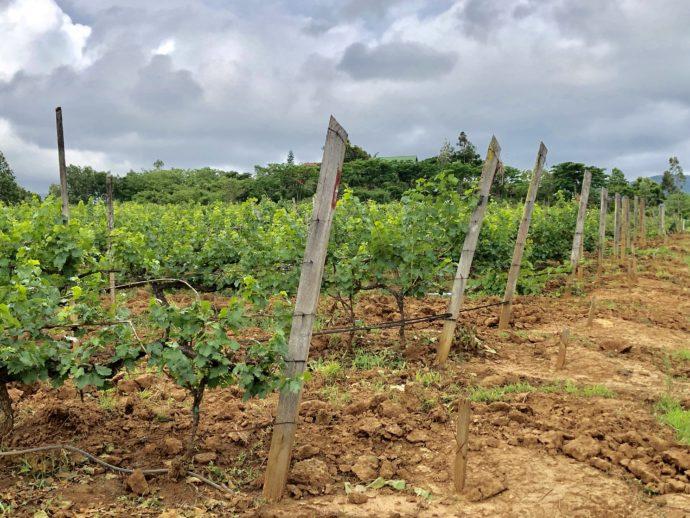 坂道にあるブドウ畑