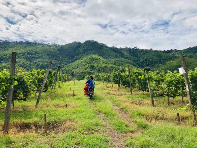 ワイン畑を駆け抜けるバイク