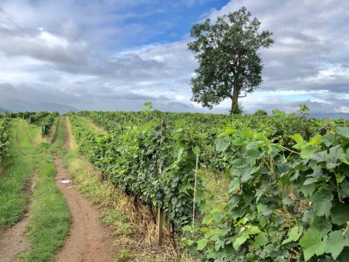 ワイナリーの葡萄畑
