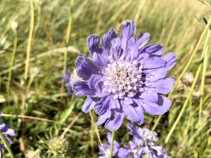 紫色の野花