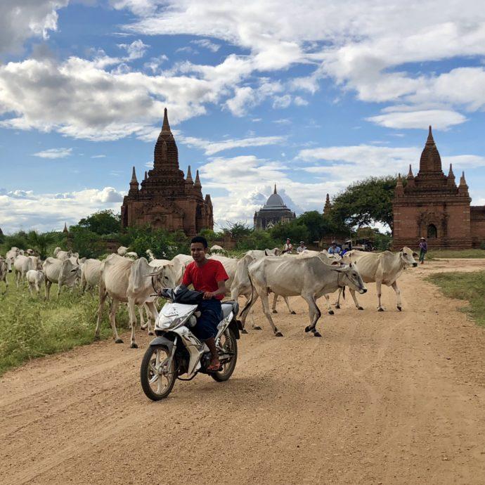 羊の群れをバイクで突き抜ける男性