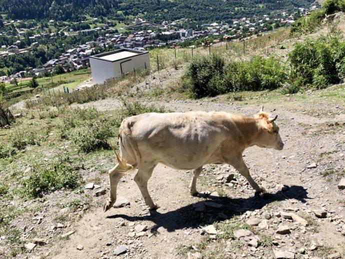 道を歩く牛