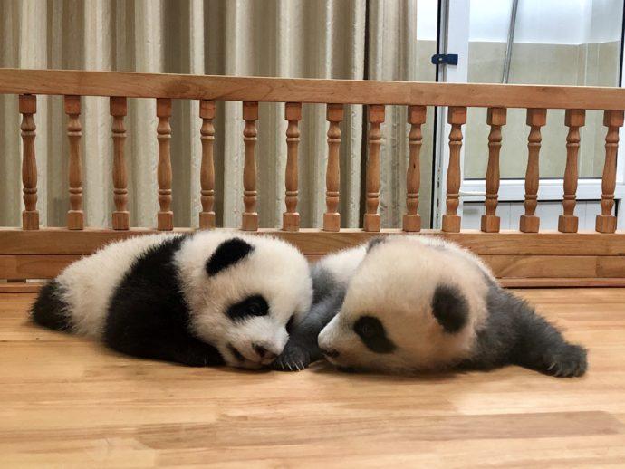 じゃれる赤ちゃんパンダ