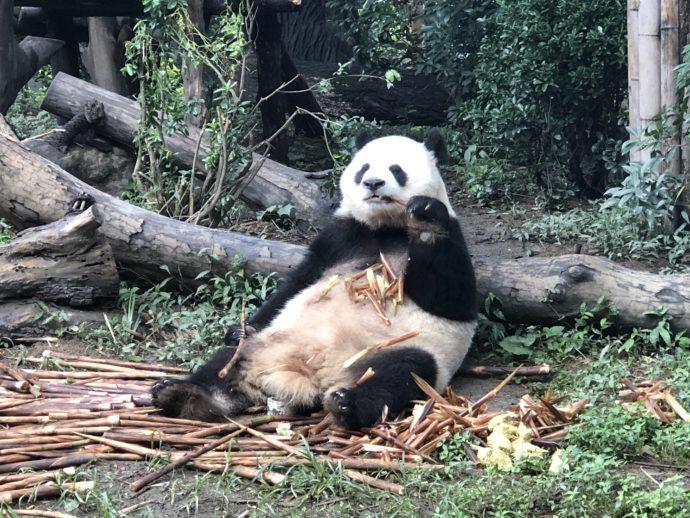 笹を食べ続けるパンダ