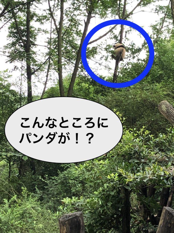 木に登るパンダ