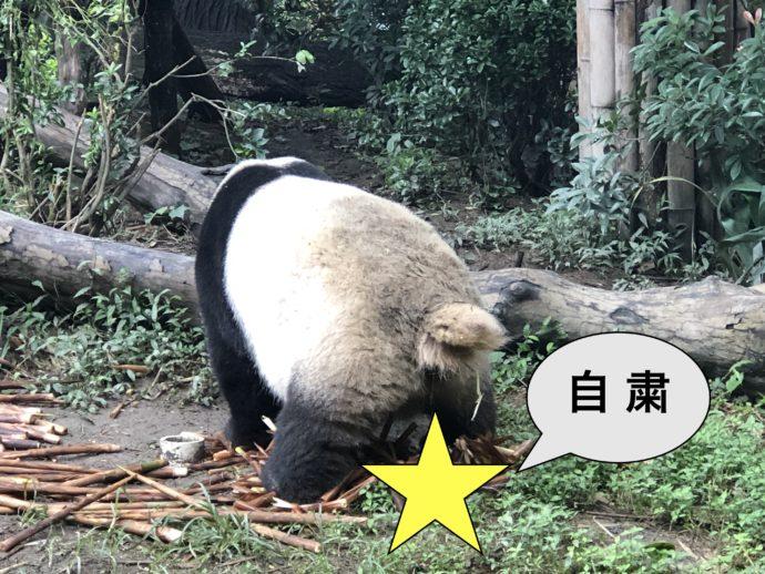 ウンチするパンダ
