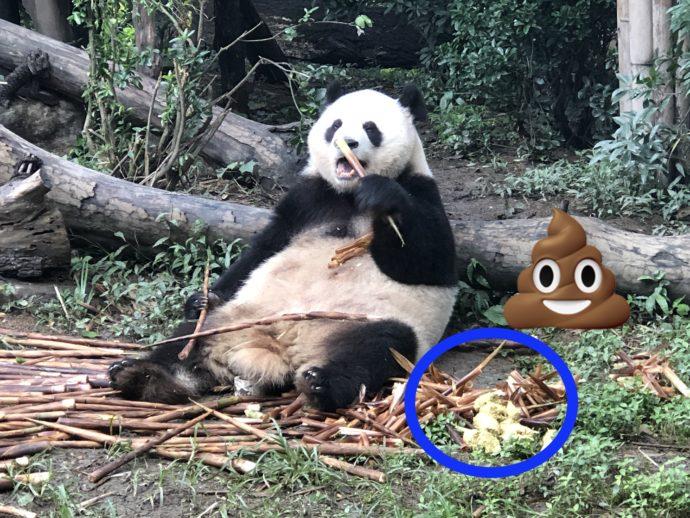 ウンチの横で笹を食べ続けるパンダ