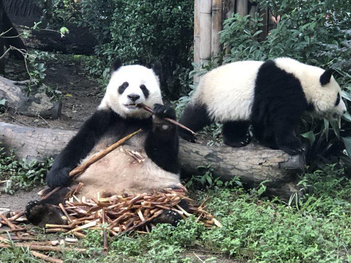 笹を食べるパンダ