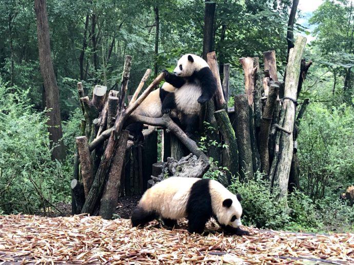 元気に遊ぶパンダたち