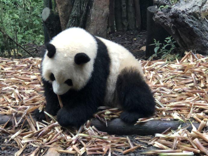 笹を探すパンダ