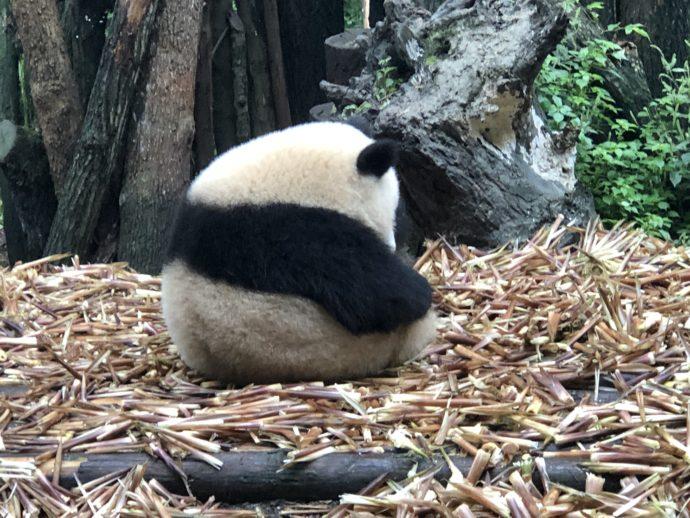 パンダの後ろ姿