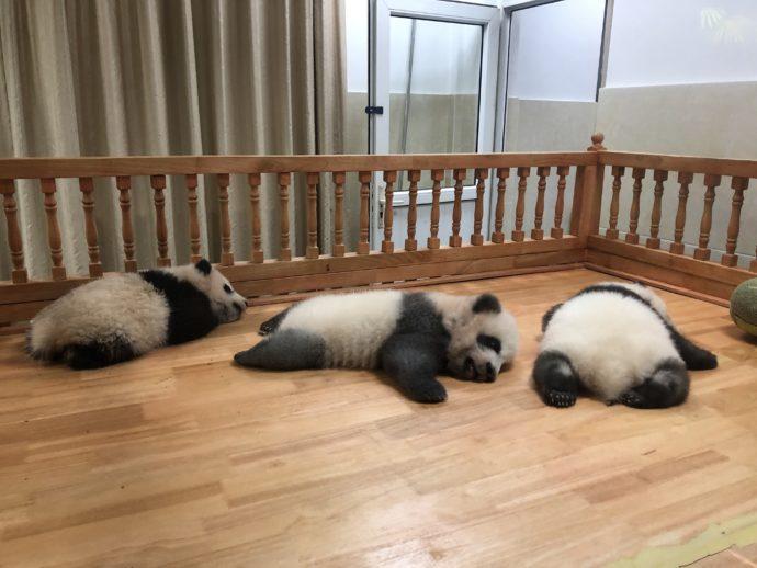 眠る赤ちゃんパンダ