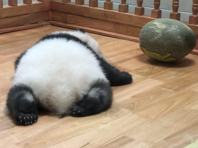 メロンと比較されるパンダ