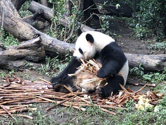 笹を集めるパンダ