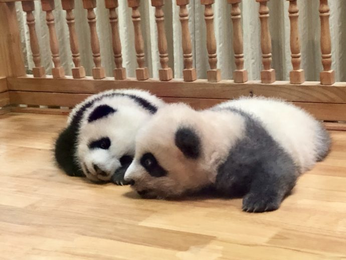 目を開けた赤ちゃんパンダ