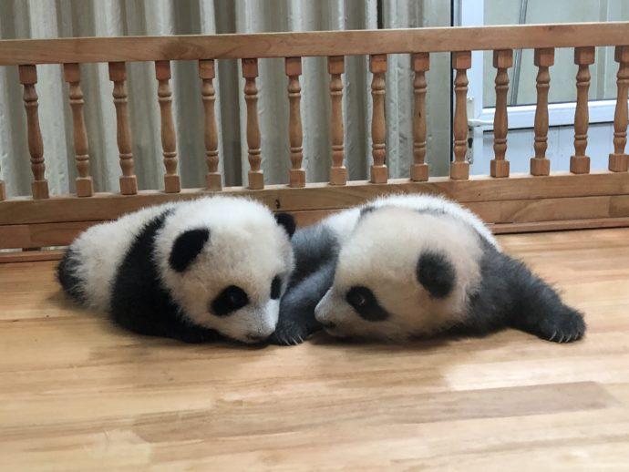 見つめあう赤ちゃんパンダ