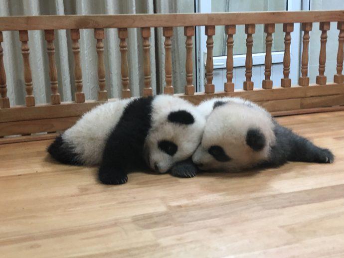じゃれあう赤ちゃんパンダ