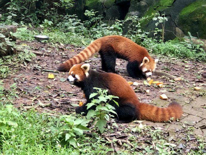 2匹のレッサーパンダ