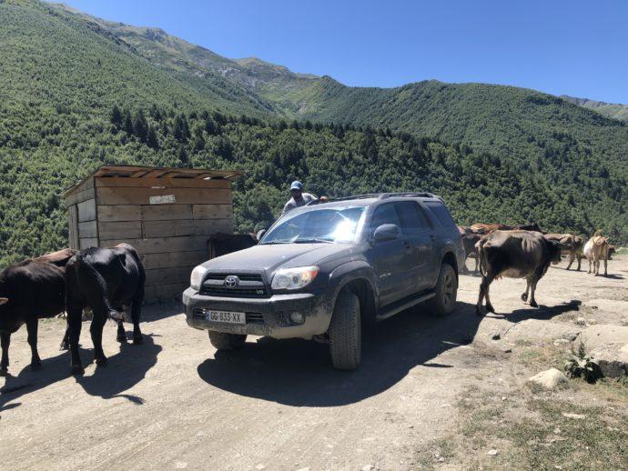 牛に邪魔されて通行できない車