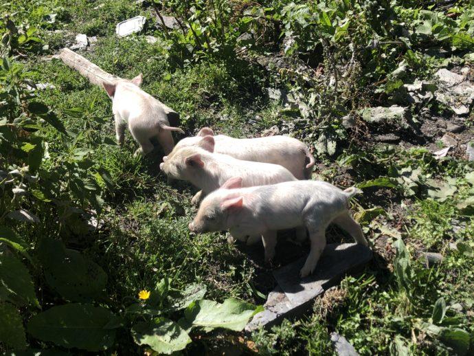 3匹の子豚