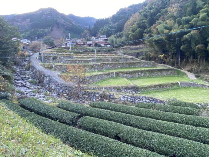 丸小野地区の茶畑