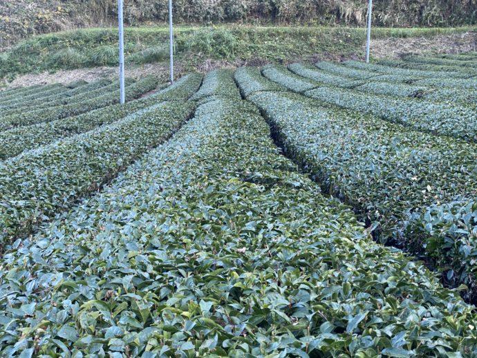 一面の茶畑
