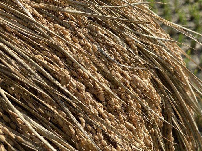 収穫された稲