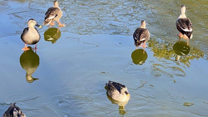 白水阿弥陀堂の池であそぶ鴨