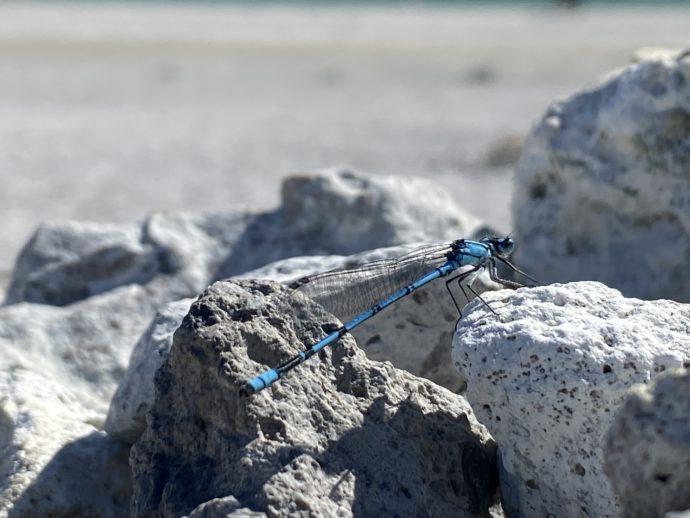 極楽浜の青いトンボ