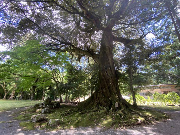 若狭神宮寺のスダジイの巨木