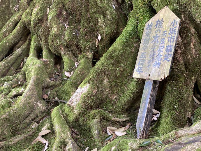 若狭神宮寺のスダジイの根
