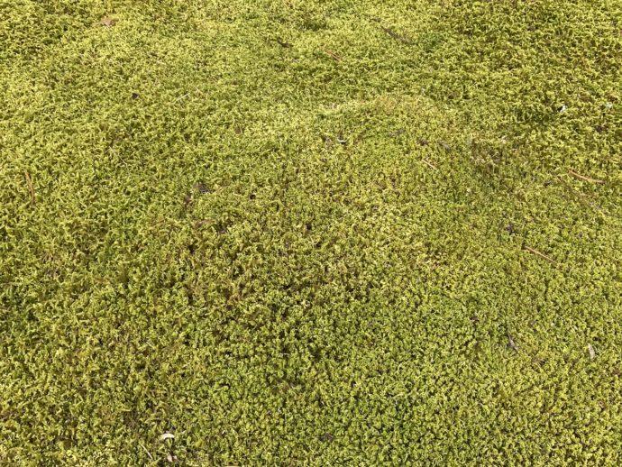 ふかふかな苔