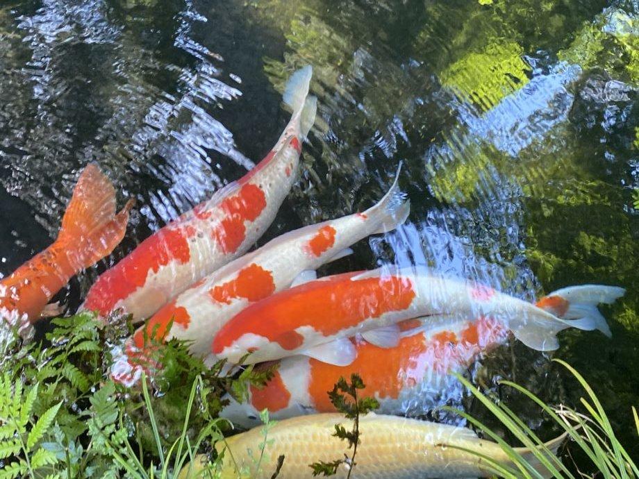 エサに群がる鯉