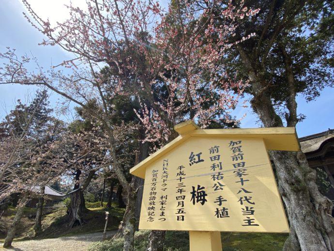 前田家18代当主・前田利祐氏のお手植え梅の木