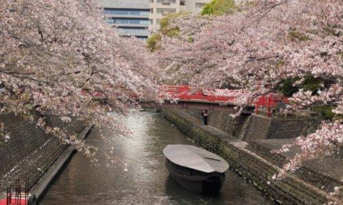 船町港跡の舟と桜