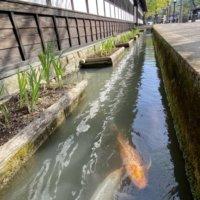 掘割を泳ぐ鯉たち